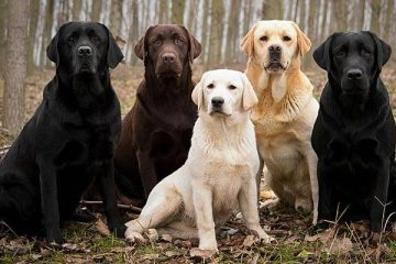 Best Labrador Color