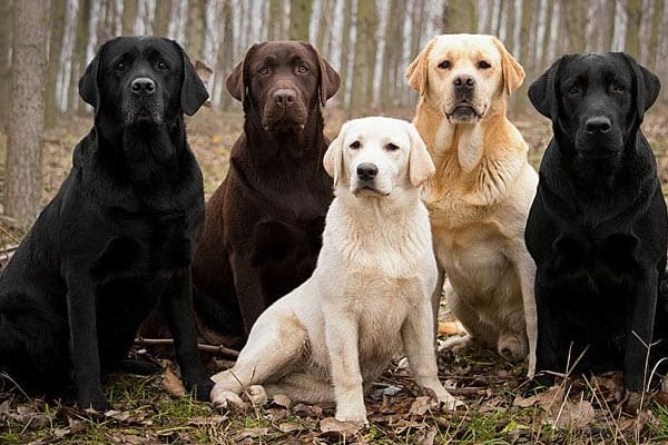 Which Labrador Color Is Best Black