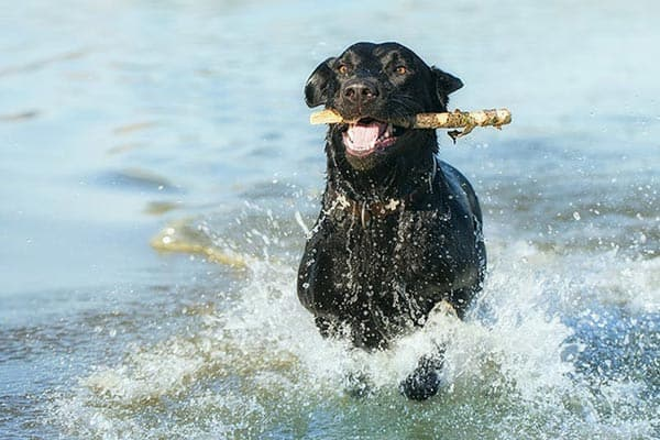how to train labrador retriever