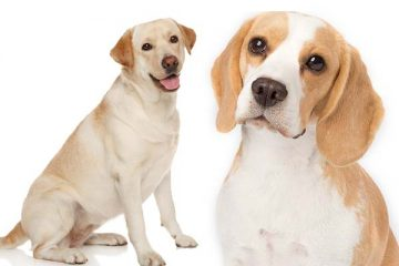 Beagle vs Labrador Retriever