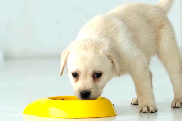 Feeding Your Labrador Puppy