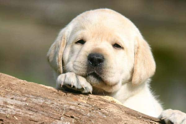 How To Find A Healthy Labrador Puppy