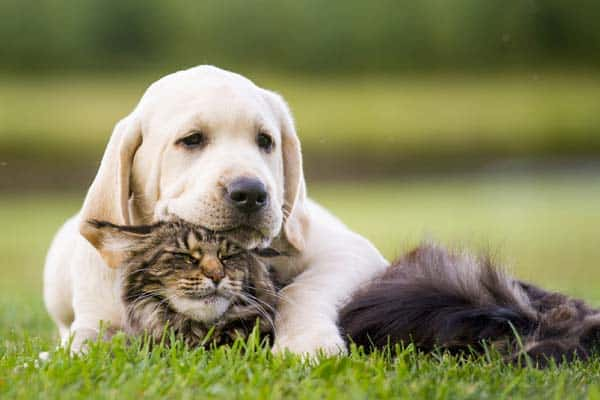 Labrador and cats