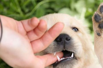 Stop Your Labrador Puppy Biting