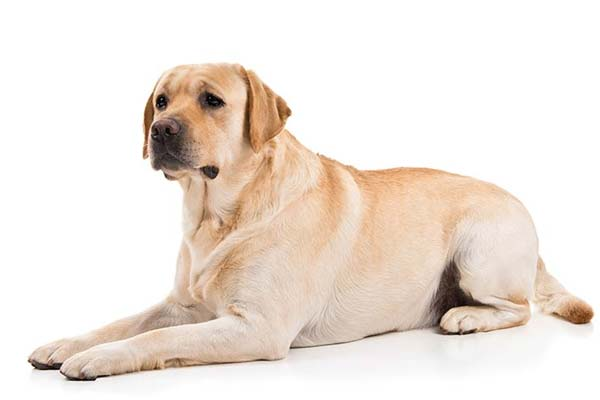 Train your Labrador to Lie Down and Stay