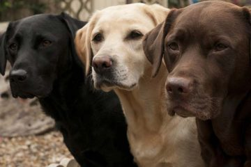 Ways To Spot A Bad Labrador Breeder