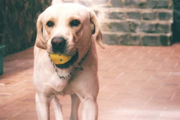 12 best chew toys for lab puppies