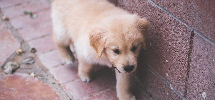 8 tips for labrador grooming