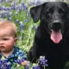how long do labradors live labrador retriever lifespan