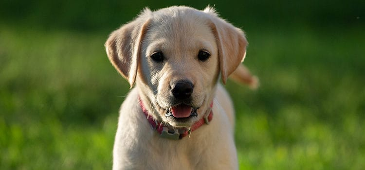 labrador for sale how to vet your breeder