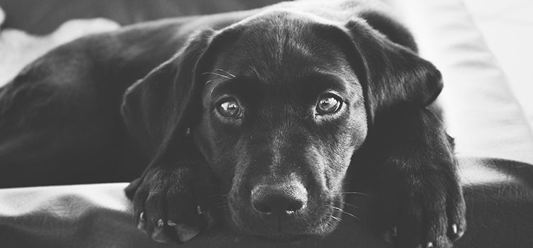 what is a miniature labrador