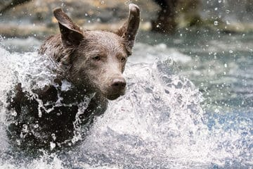 what is the best labrador shampoo